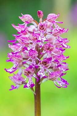The hybrid between monkey (Orchis simia) and lady (Orchis purpurea) orchids, growing in numbers at Hartslock, Oxfordshire, England, UK, May.