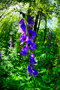 Monkshood (Aconitum napellus) growing on the banks of the Mells Stream in Edford Woods, Somerset, UK, a Somerset Wildlife Trust reserve. May 2011