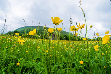 Muker Meadows National Nature Reserve with buttercups, Swaledale, Yorkshire, England, UK, June.