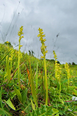 Musk orchid (Herminium monorchis) growing on the scarp slope of the Cotswolds at Crickley Hill, Gloucestershire, England, UK, July.