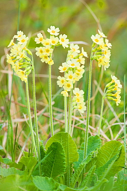 Oxlip (Primula elatior) growing in Shadwell Woods Reserve, Essex, England, UK, April.