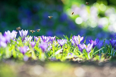 Cultivated spring crocus (Crocus vernus) with honey bees (Apis melifera) UK, March.