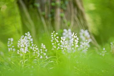 Sword-leaved helleborine (Cephalanthera longifolia) at Chappett's Copse, Hampshire, England, UK, May.