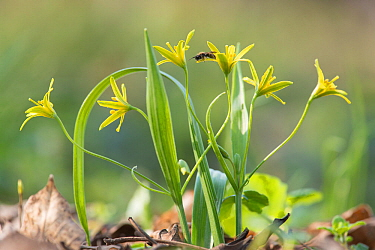 Yellow star of Bethlehem (Gagea lutea) in woodlands of th Schonbrunn Palace in Vienna, Austria, March.