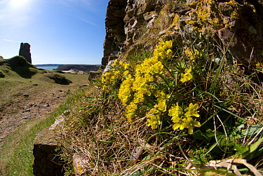 Yellow whitlow grass (Draba aizoides) growing at Pennard Castle, South Wales, UK. March. In Britain into only occurs on the cliffs around the Gower Peninsula.