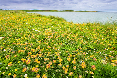 Kidney vetch (Anthyllis vulneraria) flowering on machair grassland at Balranald RSPB reserve, North Uist, Outer Hebrides, Scotland, UK, July.