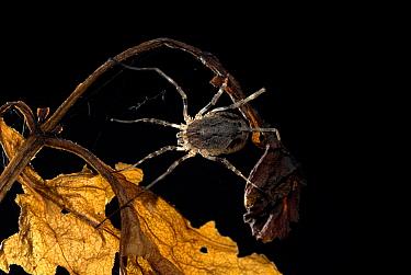 Harvestman (Phalangium opilio), UK.  Robert Pickett/Visuals Unlimited/ naturepl.com