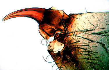Cotton Red Spider Mite (Tetranychus gloveri) fang. Captive.  Robert Pickett/Visuals Unlimited/ naturepl.com