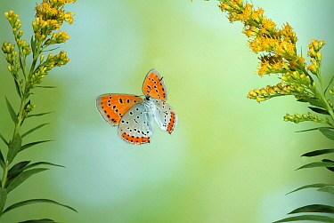 Large Copper Butterfly (Lycaena dispar) in flight through Goldenrod flowers. Captive special breeding group for release into the wild, extinct in the  UK.  Robert Pickett/Visuals Unlimited/ naturepl....