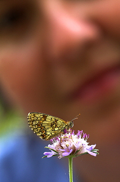 Woman watching a Heath Fritillary Butterfly (Mellicta athalia) sitting on a flower, Provence, France  Robert Pickett/Visuals Unlimited/ naturepl.com