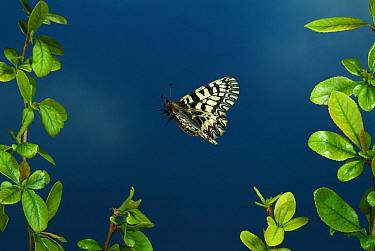 Southern Festoon Butterfly (Zerynthia polyxena) in flight,  captive from Europe.  Robert Pickett/Visuals Unlimited/ naturepl.com