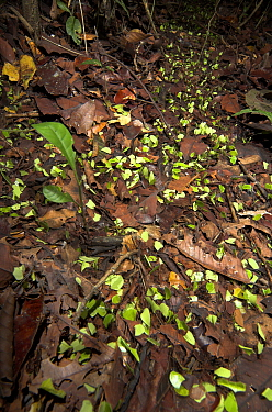 Leaf Cutter Ants (Atta cephalotes) on trail in rainforest taking leaves back to nest, Iquitos, Peru  Robert Pickett/Visuals Unlimited/ naturepl.com