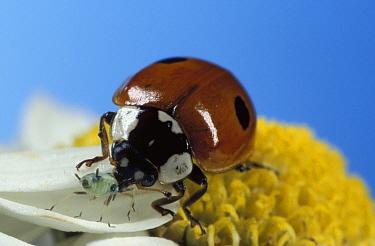 Two-Spot Ladybird Beetle (Adalia bipunctata) adult feeding on Aphid on a Daisy flower, UK.  Robert Pickett/Visuals Unlimited/ naturepl.com