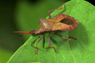 Dock Bug (Coreus marginatus) on leaf, UK.  Robert Pickett/Visuals Unlimited/ naturepl.com