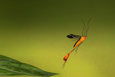 Flag-footed Bug (Anisoscelis flavolineata) in flight, Costa Rica  Robert Pickett/Visuals Unlimited/ naturepl.com