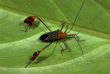Flag-footed bug (Anisoscelis flavolineata), Hacienda Baru, Costa Rica  Robert Pickett/Visuals Unlimited/ naturepl.com