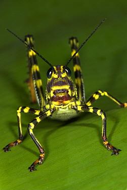 Grasshopper (Tropidacris cristata) portrait, Hacienda Baru, Costa Rica  Robert Pickett/Visuals Unlimited/ naturepl.com