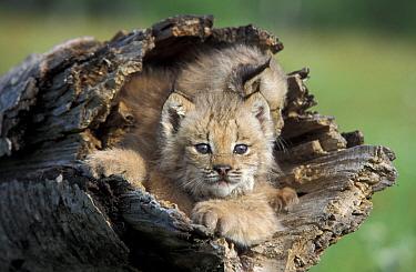 Canadian Lynx (Lynx canadensis) seven-week kittens in log, Minnesota, USA, captive.  Robert Pickett/Visuals Unlimited/ naturepl.com