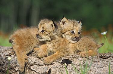 Canadian Lynx (Lynx canadensis) seven-week kittens on log, Minnesota, USA, captive.  Robert Pickett/Visuals Unlimited/ naturepl.com