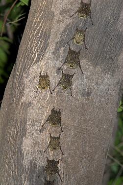 White-Lined Sac-Winged Bat (Saccopteryx bilineata) on tree trunk, Iquitos, Peru  Robert Pickett/Visuals Unlimited/ naturepl.com