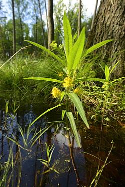 Tufted loosestrife (Lysimachia thyrsiflora), emerging from woodland pond, Shatsky National Natural Park, Volyn Oblast, Ukraine, May.