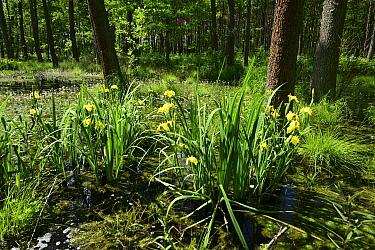 Yellow Iris (Iris pseudacorus), natural woodland pond, Shatsky National Natural Park, Volyn Oblast, Ukraine, May.