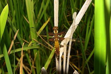 Four-spot chaser dragonfly (Libellula quadrimaculata), recently emerged resting on old Bulrush (Typha latifolia) stem, pond, Milton Keynes, Bcukinghamshire, England, June 2019.