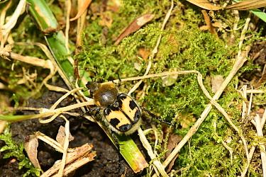 Bee chafer (Trichius fasciatus), ancient deer park, Herefordshire, England, June.