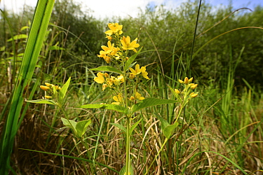 Yellow loosestrife (Lyisimachia vulgaris), Moccas Park National Nature Reserve, Herefordshire, England.