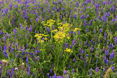 Common ragwort (Senecio jacobaea) surrounded by Tufted vetch (Vicia cracca), on a brownfield site, Worcester, England, July.