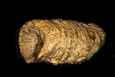 Fossilised Rugose Coral (Omphyma sp.) Silurian Period, Much Wenlock Limestone, 428 to 433 million years of age, Paul Olver Collection, England.