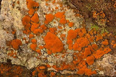 Orange Alga (Trentepohlia sp.) on damp rocks, Brecon Beacons National Park, Carmarthenshire, Wales, March.