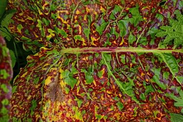 Dock Rust (Puccinia phragmitis) on Broad-leaved Dock (Rumex obtusifolius), woodland edge, Herefordshire, England, April.