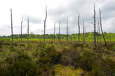 Chartley Moss floating peat bog or schwingmoor with Ghost Forest of dead Scots Pines (Pinus sylvestris), AONB, SSSI, Ramsar site and National Nature Reserve, Staffordshire England, May.