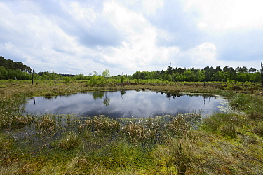 Oligotrophic pool at Chartley Moss schwingmoor or floating peat bog with Common Cotton-grass ( Eriophorum angustifolium) and Sphagnum bog moss, AONB, SSSI and National Nature Reserve, Staffordshire, E...