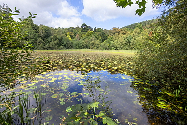 Pond on Castlewellan Forest Park with Yellow Water-lily (Nuphar lutea), County Down, Northern Ireland, September.