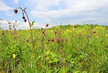 Marsh avens (Geum rivale) in flood meadow pasture, Volyn Oblast, Ukraine, May.