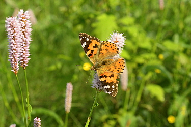 Painted lady butterfly (Vanessa cardui) on Common bistort (Periscaria bistorta), Volyn Oblast, Ukraine, May.