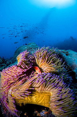 A pink anemonefish (Amphiprion perideraion) looks out from its host Magnificent sea anemone (Heteractis magnifica) with a school of Chevron barracuda (Sphyraena putnamiae) and a scuba diver in the bac...