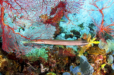 Chinese Trumpetfish (Aulostomus chinensis) surrounded by sea fans and other corals and sponges. Kimbe Bay, Papua New Guinea