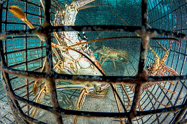 Caribbean spiny lobster (Panulirus argus) in a trap or fish pot in The Bahamas.
