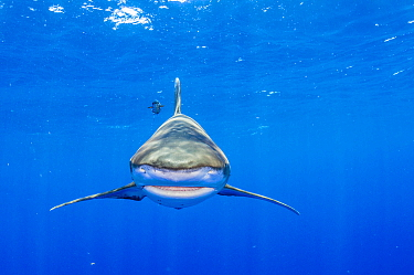 Oceanic whitetip shark (Carcharhinus longimanus) head on just under the surface of the water. Image made off Cat Island, Bahamas. Non-ex
