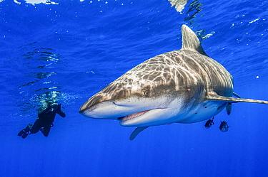 Oceanic whitetip shark (Carcharhinus longimanus) and snorkeler with camera off Cat Island, Bahamas. Non-ex