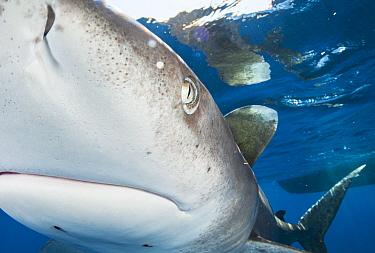 Oceanic whitetip shark (Carcharhinus longimanus) bumps into the front of the camera off Cat Island, Bahamas