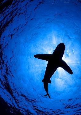 Oceanic whitetip shark (Carcharhinus longimanus) silhouette above, off Cat Island, Bahamas