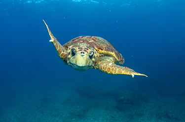 Loggerhead sea turtle (Caretta caretta) male during breeding season in The Bahamas.