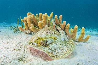 Yellow stingray (Urobatis jamaicensis) on sand seabed by coral reef, The Bahamas.