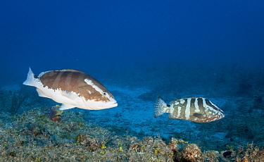 Nassau grouper (Epinephelus striatus) showing the change in color pattern during spawning. Critically Endangered Species. Bahamas