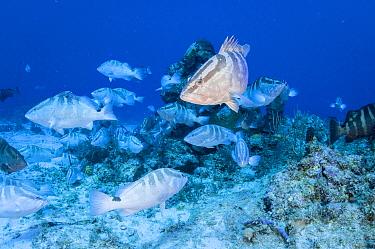 Nassau grouper (Epinephelus striatus) gather during the winter full moons to spawn. Image made in The Bahamas. Critically endangered