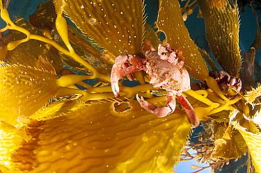 Kelp crab (Pugettia producta) feeding on Giant kelp (Macrocystis pyrifera) off San Diego, California, USA